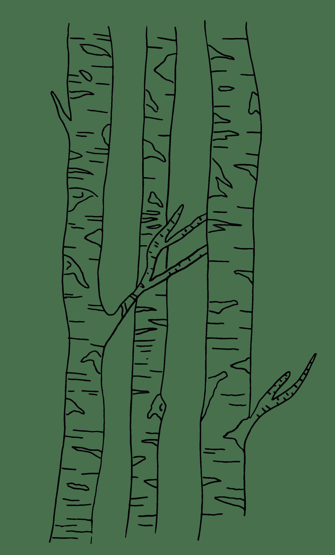 forêt bouleau